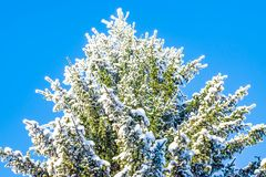 Natural white snow, hoarfrost on the branches, the needles of Siberian pine,spruce in dark coniferous forest, Royalty Free Stock Photography
