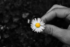 Natural white and yellow daisy in a hand and black and white background stock images