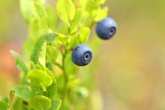 The Natural wild huckleberries branch in forest. Natural wild huckleberries branch in forest Royalty Free Stock Photo