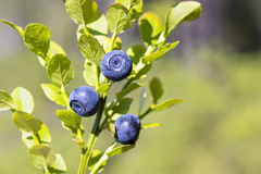 Natural wild huckleberries branch in forest Stock Photos