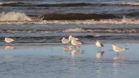 Seagull relax on seaside stock video