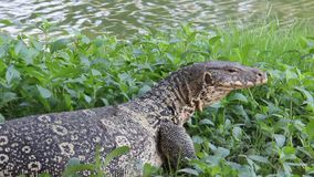 Lizard Relax And Doze On Riverbank. Natural and wildlife. freedom of living one monitor lizard relax and doze on riverside in Thailand stock video footage