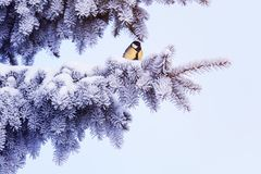 Natural winter background with a beautiful bird tit sits on a Ch stock photos