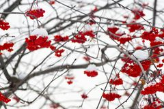 Natural winter background of mountain ash bushes Stock Photos