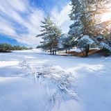 Winter forest pine trees snow Stock Image