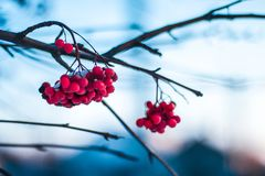 Natural winter frozen red rowan berries stock photos