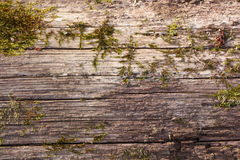 Natural wood structure. Picture of natural wood structure with green moss Royalty Free Stock Photo