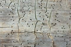 Traces of Bark Beetles On An Old Tree Trunk. Natural wooden texture background - close-up traces and tracks of bark beetles on the old tree trunk. Selective royalty free stock image