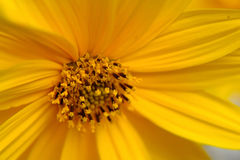 Natural yellow. The picture of a yellow flower Stock Photography