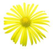Natural yellow exotic chrysanthemum flower macro isolated Stock Photography