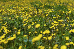 Natural Yellow Flower Field. Authentic and natural scene of bright yellow flower field Royalty Free Stock Photos