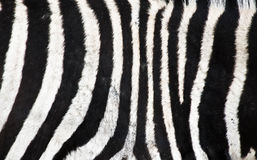 Natural Zebra background Royalty Free Stock Photography