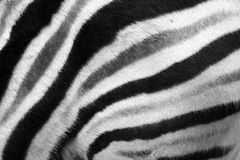 Natural zebra fur texture Royalty Free Stock Photos