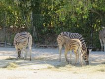 Zebra allo zoo. At the natural zoo of Falconara, a city of the Marche in Italy, you can find many animals between here this in its reproduced habitat and the royalty free stock images