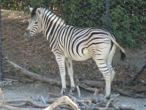 Zebra allo zoo. At the natural zoo of Falconara, a city of the Marche in Italy, you can find many animals between here this in its reproduced habitat and the royalty free stock photos