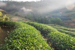 Naturale della piantagione di tè bello Fotografia Stock Libera da Diritti