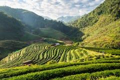 Naturale della piantagione di tè bello Fotografia Stock
