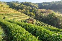 Naturale della piantagione di tè bello Fotografie Stock