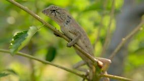 Naturaleza animal del lagarto salvaje metrajes