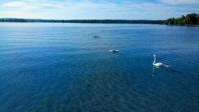 Naturaleza animal del pájaro de la familia de Italia del lago del togheter inseparable del cisne salvaje Fotos de archivo