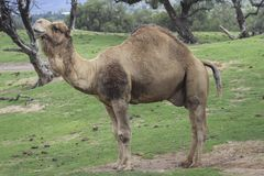 NATURE ANIMAL NATURALEZA AFRICA PARQUE CAMEL DROMEDARY PARK royalty free stock images