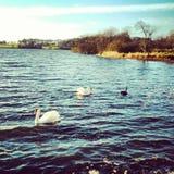 Naturaleza blackswan del lago de Irlanda del cisne Imagenes de archivo