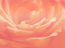 Naturaleza color de rosa floral del verano de la tarjeta del día de San Valentín de los órganos del fondo imagen de archivo
