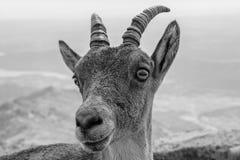 Naturaleza de la cabra fotografía de archivo libre de regalías