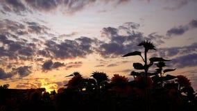 Naturaleza de la planta de la puesta del sol del campo del girasol metrajes