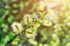 Naturaleza de la primavera - brotes mullidos amarillos del sauce Imagen de archivo