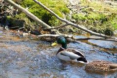 Naturaleza del agua del pato Foto de archivo