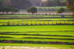 Naturaleza del arroz de la granja en Tailandia Imagenes de archivo