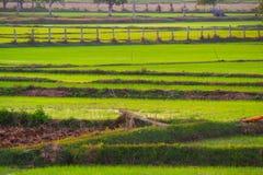 Naturaleza del arroz de la granja en Tailandia Fotos de archivo