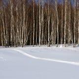 Naturaleza del invierno, abedules blancos y nieve Imágenes de archivo libres de regalías