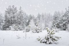 Naturaleza del invierno en día nublado Árboles Nevado en nevadas imagen de archivo libre de regalías