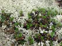 Naturaleza del norte, bayas en la hierba y musgo Fotografía de archivo