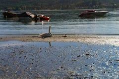 Naturaleza del pájaro de la familia de Italia del lago del animal doméstico de la momia del cisne salvaje Imagen de archivo
