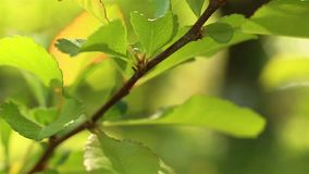 Naturaleza del tiempo de primavera El verde fresco deja el tiro macro almacen de video