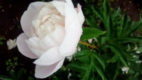 Naturaleza del verde de la rosa de la peonía después de la lluvia fotografía de archivo