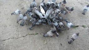 Naturaleza emplumada pájaros de la raza de las palomas almacen de metraje de vídeo