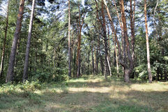 Naturaleza en verano maderas Imagen de archivo libre de regalías
