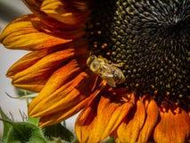 Naturaleza, flora, flores, girasol, abeja foto de archivo libre de regalías