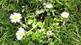 Naturaleza floral de las flores de las margaritas metrajes