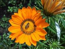 Naturaleza/flores/abeja/naranja/jardín Imágenes de archivo libres de regalías
