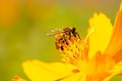 Naturaleza hermosa con la abeja en la flor Imágenes de archivo libres de regalías