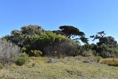 Naturaleza hermosa con muchos árboles grandes en la manera al Cabo de Buena Esperanza en Cape Town en el viaje de la península de Foto de archivo