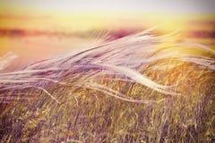 Naturaleza hermosa - hierba sedosa (hierba mullida) imagenes de archivo