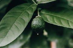 Naturaleza macra de la fruta del limón de la cal verde fotografía de archivo libre de regalías