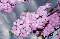 Naturaleza magnífica de la flor de la belleza del día soleado de la estación de primavera de Sakura Imagenes de archivo