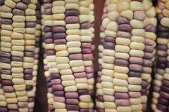 Naturaleza multicolora colorida de la textura del maíz para el fondo fotografía de archivo libre de regalías